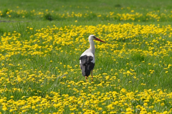 Stork on the meadow near Pilica river